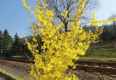 Forsythien Blüte im März