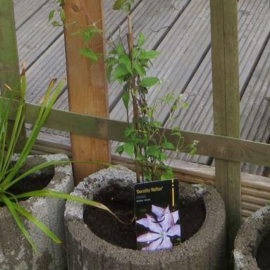 Clematis Pflanze aus dem Gartencenter Floraland in Zwönitz