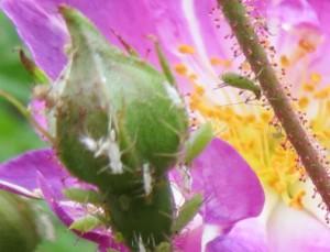 Rosen Blattlaus und Spinnmilbe