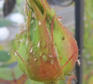 Spinnmilben auf rose