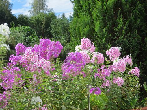 Phlox Pflanzen vor unserer Terrasse