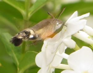 Das Kolibri Ähnliche Schwalbenschwänzchen auf unserer Phlox Pflanze
