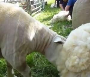 Ein geschorenes Schaf